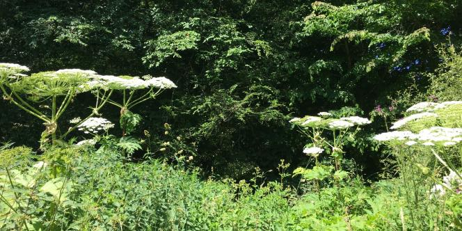 La grande berce, dans le jardin de Gilles Clément.
