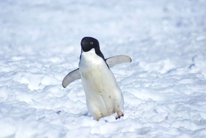 Un manchot Adélie sur les glaces de l'Antarctique.