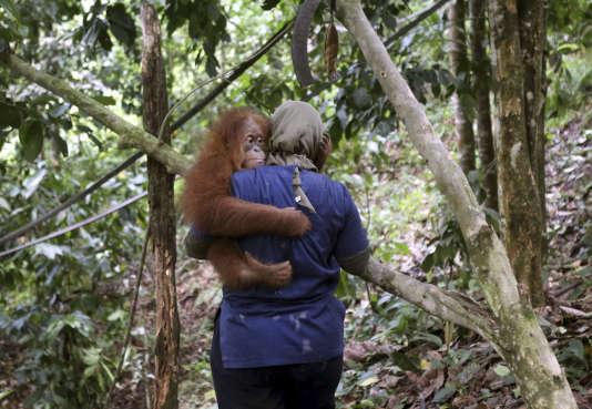 Les populations d'orangs-outans de Bornéo (Indonésie) ont chuté de 25 % ces dix dernières années, pour atteindre 80 000 individus.