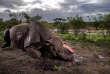 Le cadavre d'un rhinocéros noirretrouvé dans la réserve de Hluhluwe-Umfolozi, en Afrique du Sud.