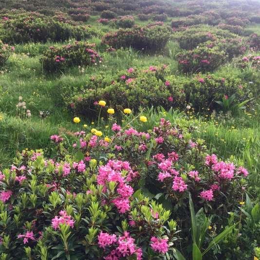 Les petits rhododendrons sauvages teintent le paysage deFluhalpe d'un rose foncé vibrant.