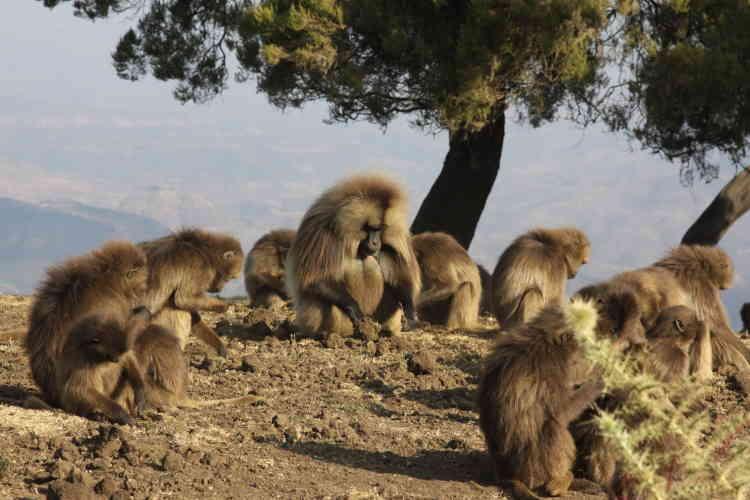 Des primates gelada en 2011 dans le parc national du Simien en Ethiopie, qui a été retiré de la liste du patrimoine en péril. Inscrit sur la liste du patrimoine mondial en 1978, le site avait été ajouté à la liste du patrimoine en péril en 1996 en raison notamment de l'impact lié à la construction d'une route traversant le parc, du surpâturage, d'empiètements agricoles aux abords du site et du déclin des populations de bouquetins d'Abyssinie, de primates gelada et d'autres grands mammifères.