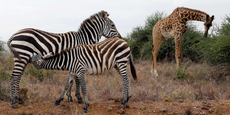 Dans un parc national près de Nairobi, au Kenya.