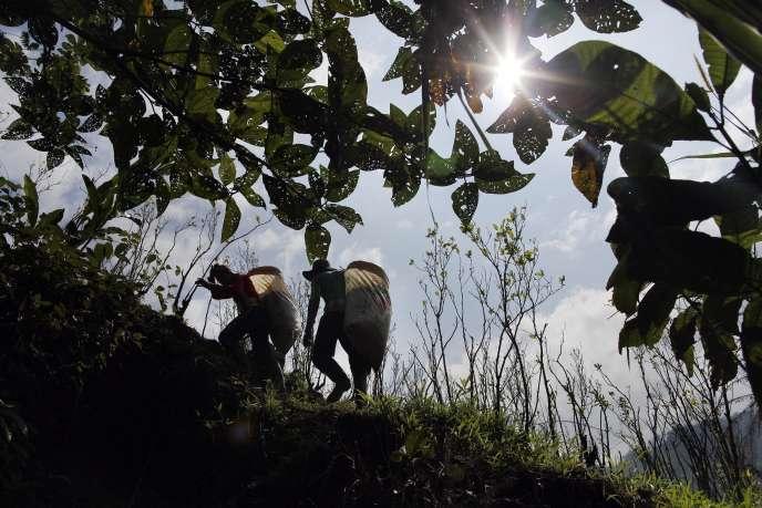 Des cultivateurs de coca dans la région d'Antioquia, en Colombie.