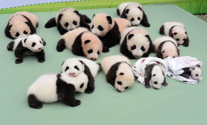 Quatorze bébés pandas montrés au public à Wolong, en Chine, en septembre 2013.