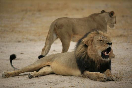 Le 21 octobre 2012, le lion Cecil, tué par un dentiste américainhors de sa réserve protégée, aux abords du parc Hwange, au Zimbabwe.