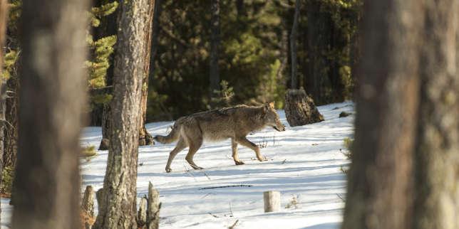 Loup sauvage dans la forêt du Queyras, Hautes-Alpes. Mois de mars au petit matin.