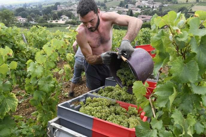 Vendanges manuelles dans un vignoble de Saint-Véran, près de Mâcon, en septembre 2016.