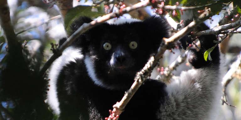 L'indri, un lémurien emblématique de Madagascar, est menacé par la disparition des forêts.