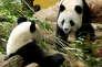 La femelle Huan Huan et le mâle Yuan Zià leur arrivée au zooparc de Beauval (Loir-et-Cher) en janvier 2012.
