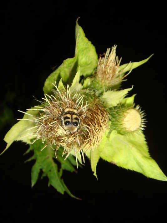 Un coléoptère sur du ciste maraîcher dont la pollinisation a été perturbée par un éclairage artificiel nocturne, entraînant une moindre production de fruits.