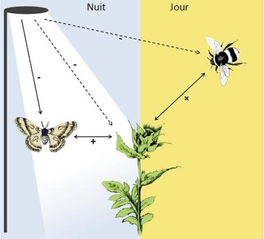 Schéma illustrant les effets en cascade de la lumière artificielle nocturne sur les communautés de plantes et de pollinisateurs. Les flèches pleines indiquent des effets directs, les flèches en pointillés les effets indirects. Le signe se réfère à la nature attendue de l'effet direct ou indirect. L'effet négatif direct de la pollution lumineuse sur les communautés de pollinisateurs nocturnes se transmet aux plantes en diminuant leur succès de reproduction, ce qui se répercute sur les pollinisateurs diurnes en diminuant la quantité de ressources alimentaire à leur disposition.