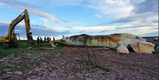Photo, publiée par le ministère des pêches et océans canadien, d'une carcasse de baleine noire remorquée sur une plage de l'île du Prince-Edouard, le 28 juin.
