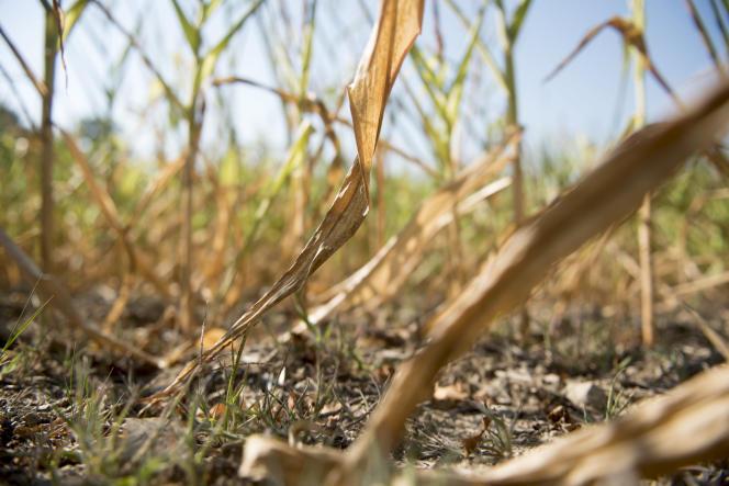 Un champ de maïs souffrant du manque d'eau.