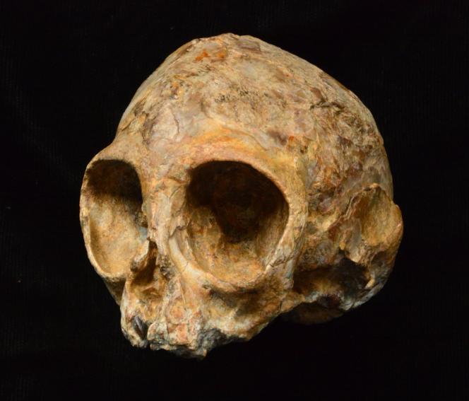 Le crâne de la nouvelle espèce de primate Nyanzapithecus alesi, après nettoyage.