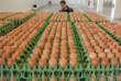 «Une fusion des deux ministères – agriculture et écologie – ferait le plus grand bien et recréerait la confiance que la société doit avoir envers son agriculture si riche et si essentielle.» (Photo : Des œufs contaminés au fipronil à Gaesti (Roumanie), le 11août).