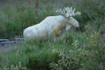 Il n'y aurait qu'une centaine d'animaux semblables en Suède.