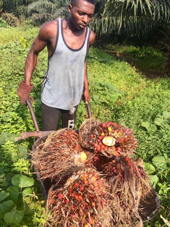 Dans la concession de Mbambou, au Cameroun, un travailleur récolte les fruits mûrs des palmiers à huile.