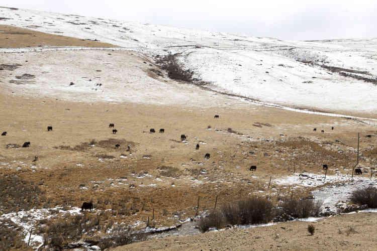 Dans la région du Kham, à l'ouest du Sichuan, un troupeau de yacks.