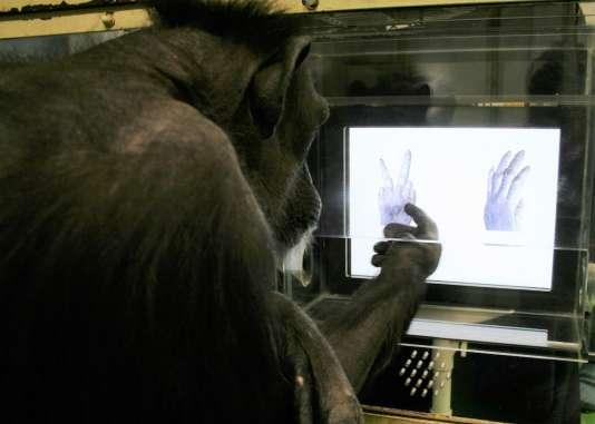 La Chimpanzée Aï en train d'apprendre les règles du jeu« Pierre-Feuille-Ciseau» à l'aide d'un écran tactile.