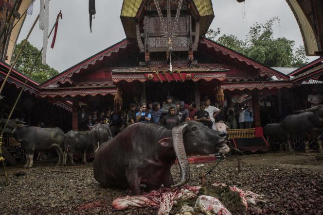 Rantepao, le 5 juin 2017. Lors de funérailles toraja, un buffle la gorge tranchée agonise sous l'oeil de la famille et des invités.