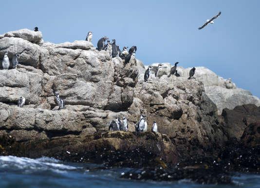 Un comité ministériel au Chili a rejeté lundi 21 août un projet minier et portuaire dans la région de Coquimbo (centre-nord), estimant qu'il ne garantissait pas la sécurité de sa réserve nationale de manchots de Humboldt.
