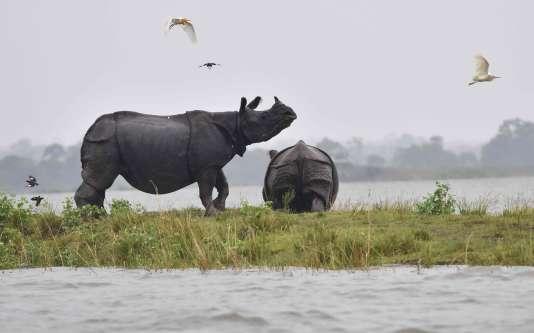 Un rhinocéros unicorne près des eaux en crue dans le parc national de Kaziranga, dans l'Etat d'Assam, au nord est de l'Inde.