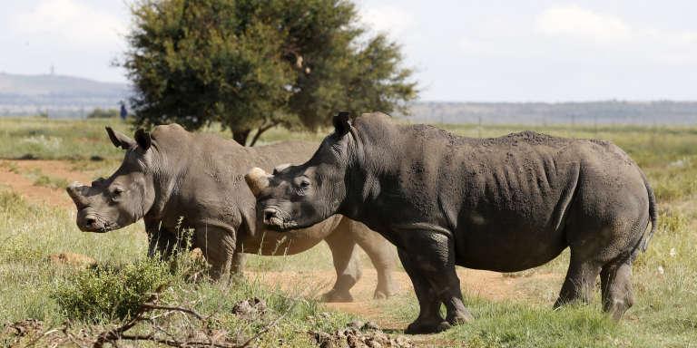 Des rhinocéros noirs décornés dans la région de Klerksdorp, dans le nord-ouest de l'Afrique du Sud, en février 2016.