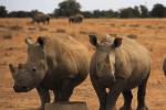 Trois rhinocéros de l'élevage finncé par le milliardaire sud-africain John Humes.