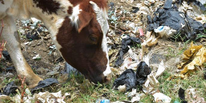 Une vache broute au milieu des sacs en plastique à Ngong, à 30km de Nairobi, au Kenya, le 24août 2017.