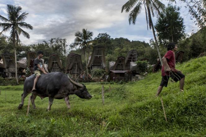Rantepao, le 4 juin 2017. De jeunes Toraja ramènent un buffle dans son enclos.