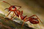 De nombreuses colonies de fourmis rouges ont été aperçues flottants dans les rues inondées de Houston.
