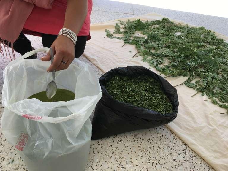 Sarah Toumi et du moringa produit à Bir Salah, en Tunisie, en feuille et en poudre.