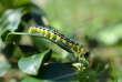 La chenille de la pyrale du buis, papillon invasif venu d'Asie.