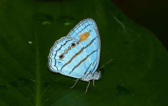 Un papillon mâle «Caeruleuptychia helios».