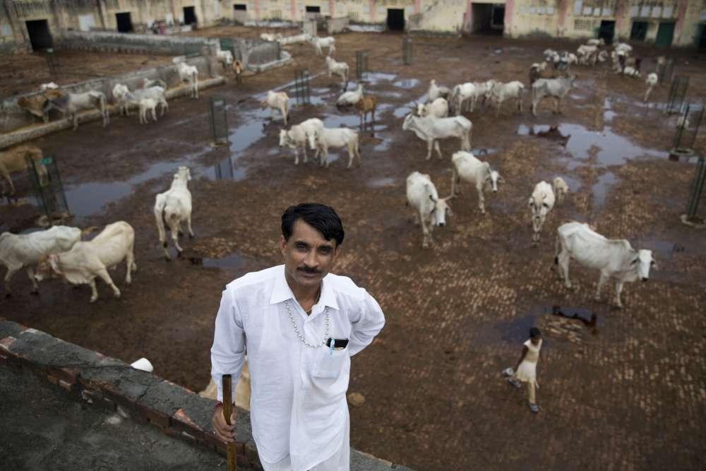 Le 30 août. Anand Kumar, 40 ans, gère un « gaushala », un refuge de vaches situé dans le village de Ladwa, à 180 kilomètres au nord-ouest de New Delhi, dans l'Etat de l'Haryana.