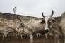 Anand Kumar est à la tête d'un refuge de 1 100 vaches situé dans le village de Ladwa, à 180 kilomètres au nord-ouest de New Delhi.