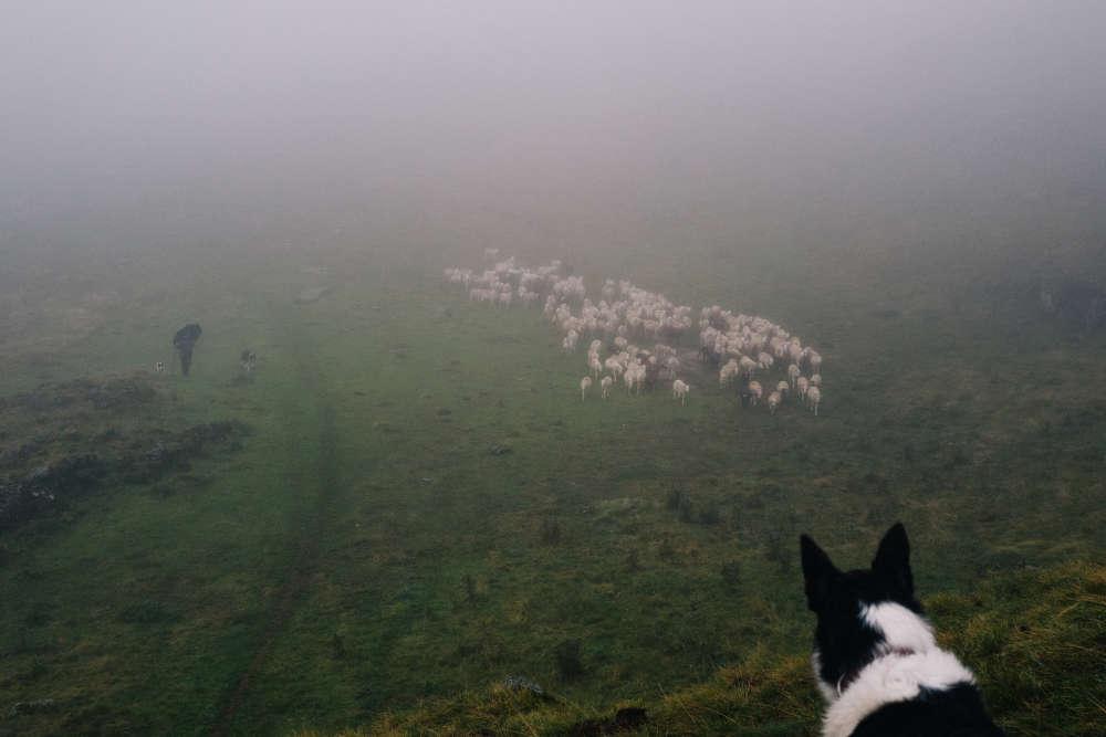 En 2016, le bilan était encourageant: 5 brebis tuées contre 33 en 2015. Fort de ce succès, le groupement pastoral est passé de 7 à 11 éleveurs et de 800 à 1 600 ovins. Mais depuis, le tableau s'est noirci. «Cette année, nous avons déjà perdu 14 brebis à mi-parcours, plus 18 autres à cause d'un patou, ainsi que deux chiens, énumère Bastien Andreu. Je suis très inquiet pour l'avenir. Mais il fautcontinuer de tenter de nouvelles façons de travailler.»