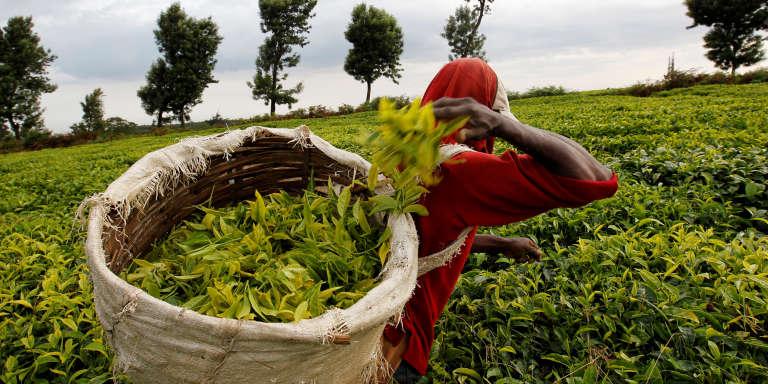 Un cueilleur de thé dans une plantation de Githunguri, près de Nairobi au Kenya, en janvier 2012.