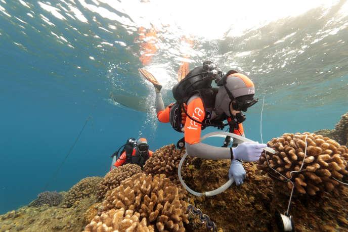 Les chercheurs prélèvent des échantillons de corail pour les analyser.