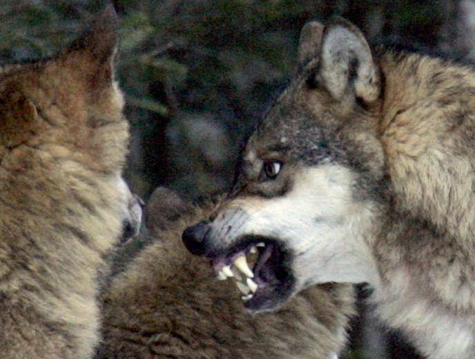Des loups en décembre 2004.
