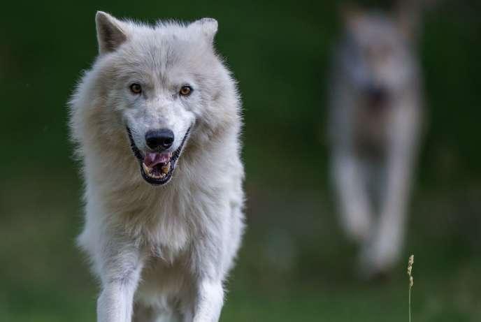 Pour vous reconnecter à votre animal intérieur, expérimentez le « wolf management»!