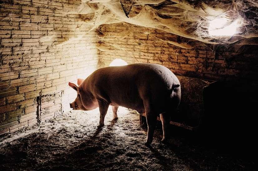 à Pinell de Solsonès (2), on continue de tuer le cochon chaque année.