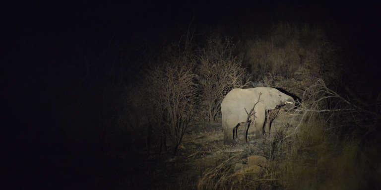 Un éléphant se nourrissant la nuit, en Afrique du Sud, en 2014.