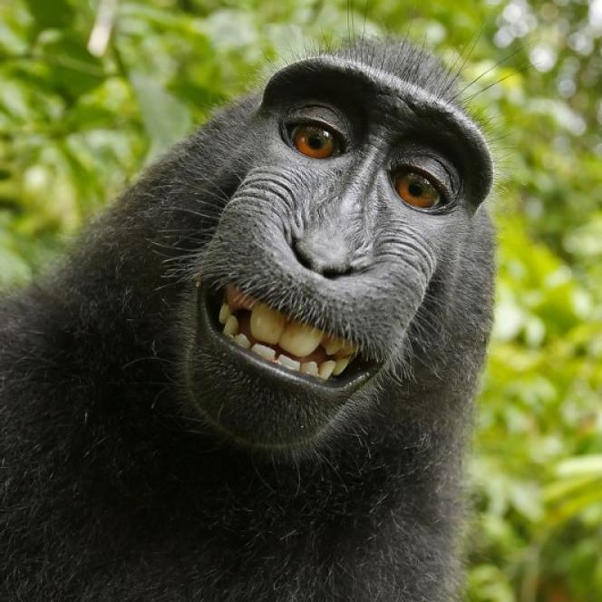 Selfie fait par le singe Naruto sur l'île de Sulawesi, en Indonésie, en 2011.