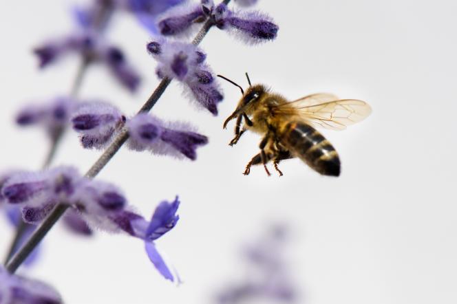 En Amérique du Nord, pour pallier l'absence des pollinisateurs sauvages, des apiculteurs développent des services de location de leurs ruches.