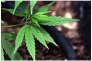 « Près de 200 000 personnes sont interpellées chaque année pour infraction à la législation sur les stupéfiants ; 80 % d'entre elles sont des consommateurs, principalement de cannabis».