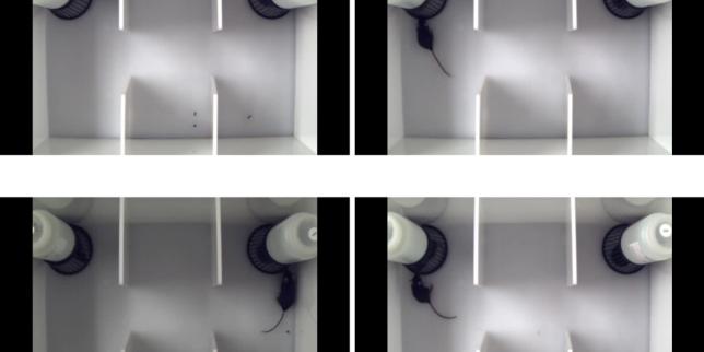 Exemple de test utilisé pour tester les capacités de socialisation chez la souris.
