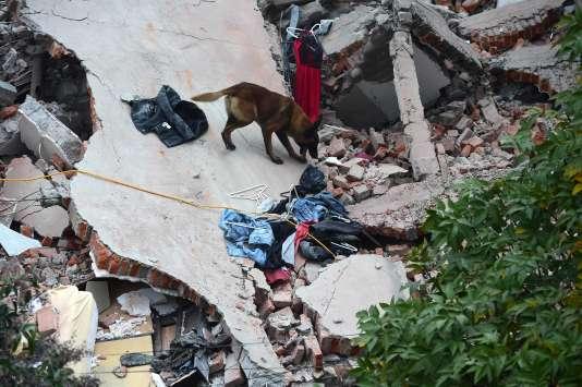 Un chien cherche la trace de survivants dans les ruines, à Mexico, le 19 septembre.