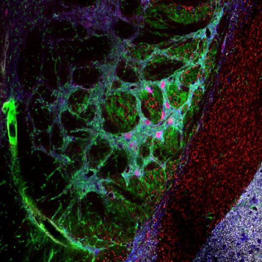 Coupe de cerveau de souris: les neurones sont rendus visibles à l'aide de molécules fluorescentes.